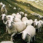 ovčke na pobočju Krna